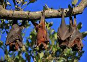 Fotografie Sleeping flying foxes wrapped up in their wings