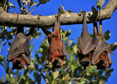 Sleeping flying foxes wrapped up in their wings