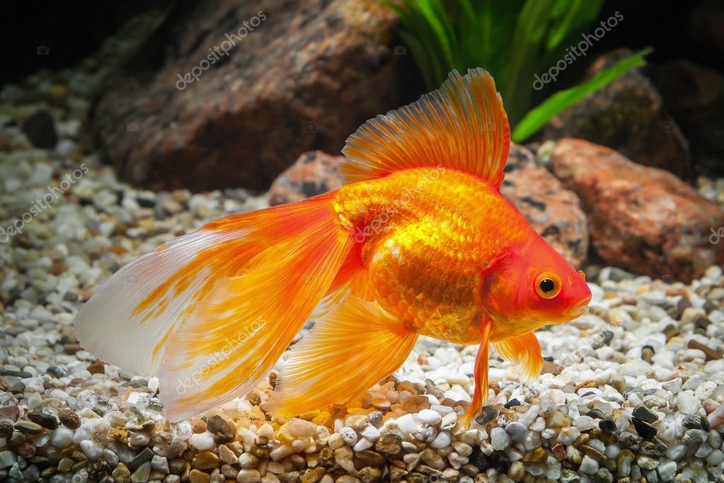 Pesce pesci rossi in acquario con piante verdi e le for Acquario per pesci rossi usato