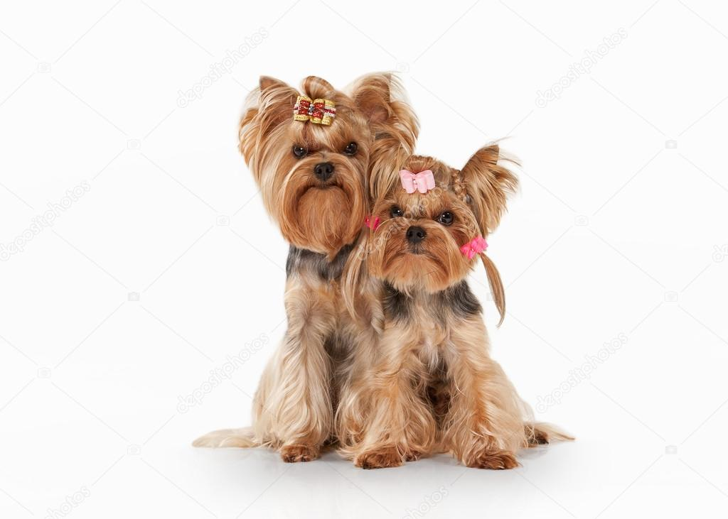 two yorkie puppies on white gradient background