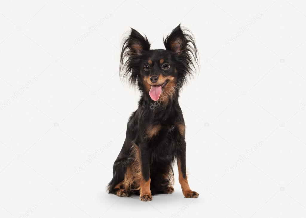 Dog. Russian toy terrier puppy on white background