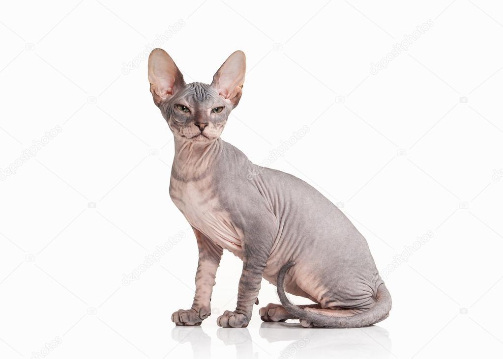Kat Don Sphynx Kätzchen Auf Weißem Hintergrund Stockfoto