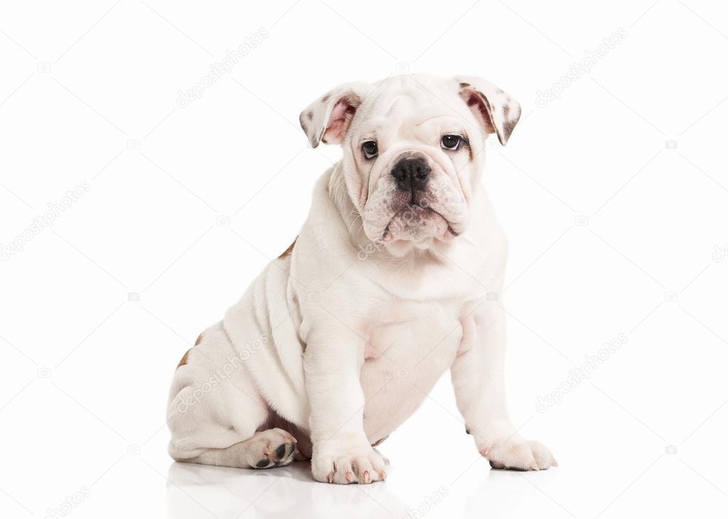 Dog  English bulldog puppy on white background — Stock Photo