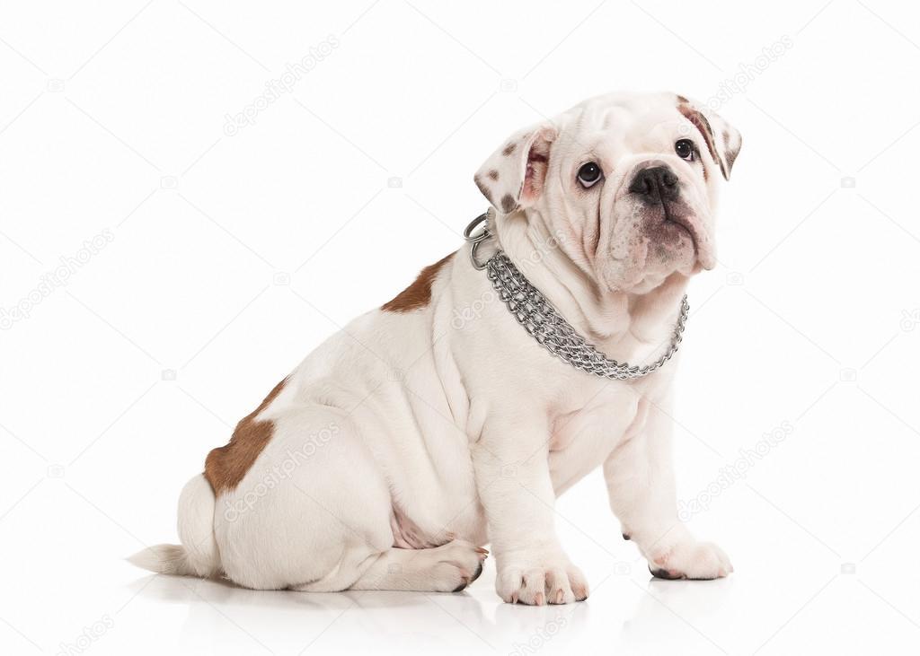 b05194c7 Pies. Buldog angielski szczeniak na białym tle — Zdjęcie stockowe ...
