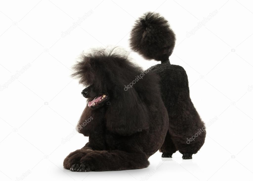 Dog. Black poodle big size isolated on white background