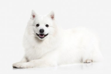 Dog. Japanese white spitz on white background