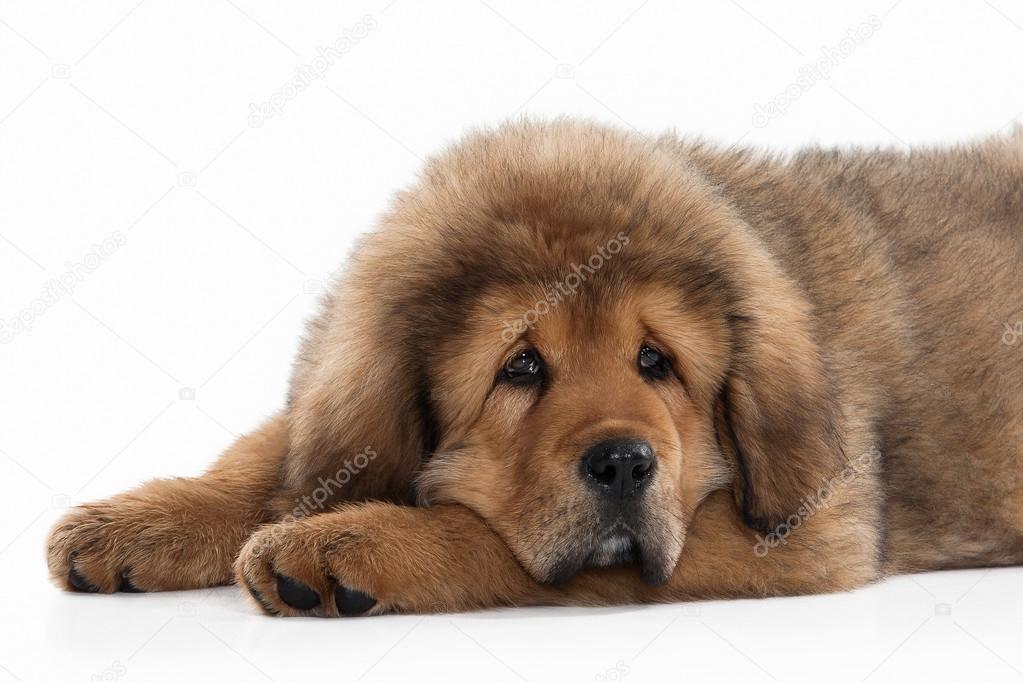 chien chiot dogue du tibet sur fond blanc photographie dionoanomalia 69063125. Black Bedroom Furniture Sets. Home Design Ideas