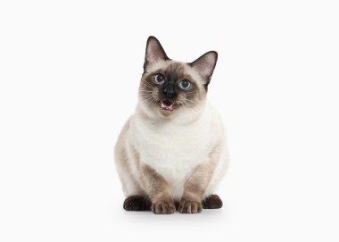 Siam Thai Cat.