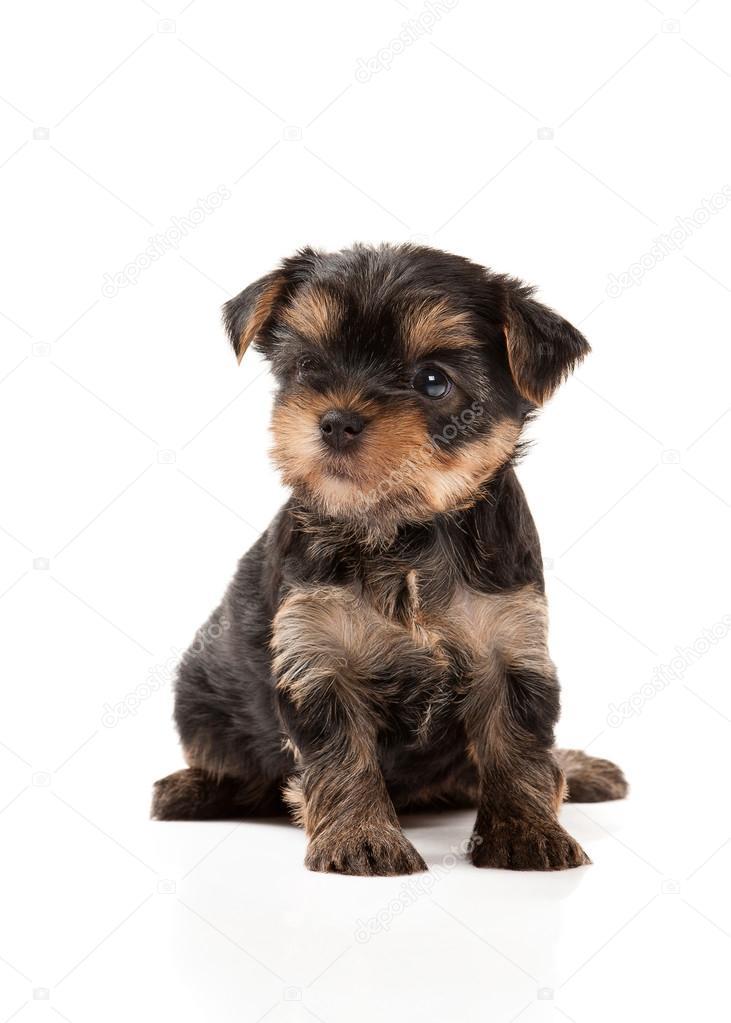 Kutya Feher Hatter A Yorkshire Terrier Kolyok Stock Foto