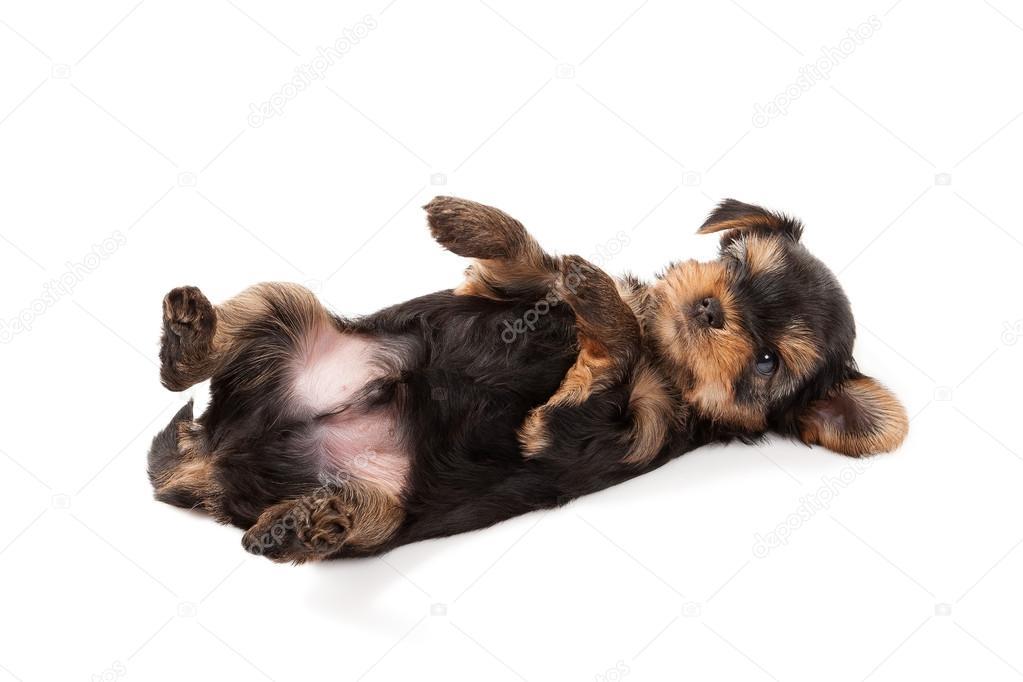 A Yorkshire Terrier Kolyok Stock Foto C Dionoanomalia 72525389
