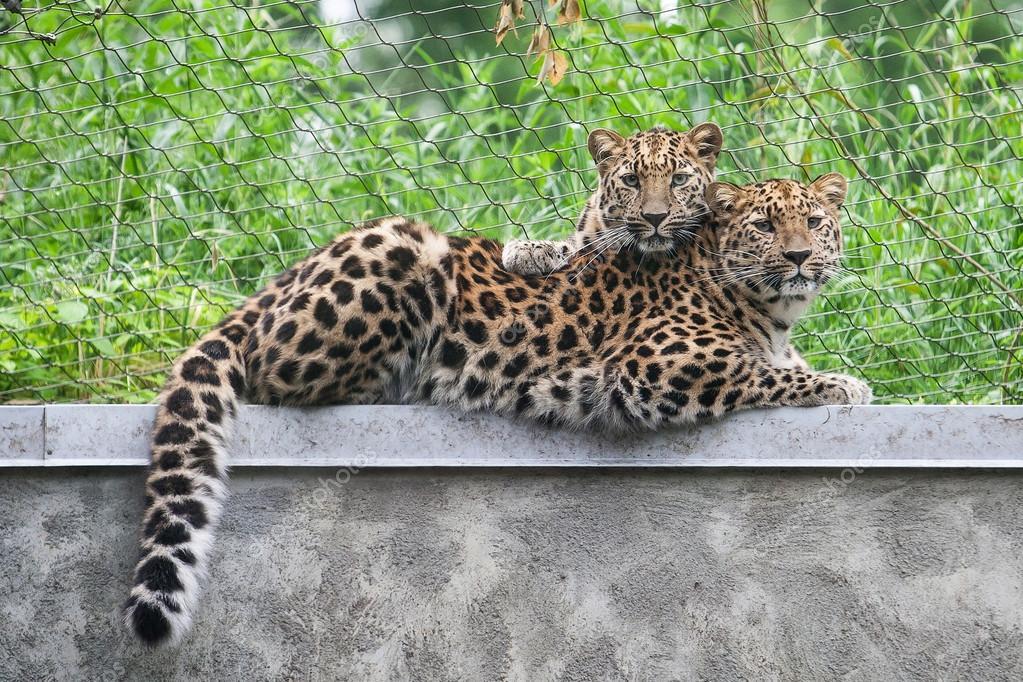 a080e9252 Divoká kočka. Levhart mandžuský ve venkovní kleci — Stock Fotografie ...