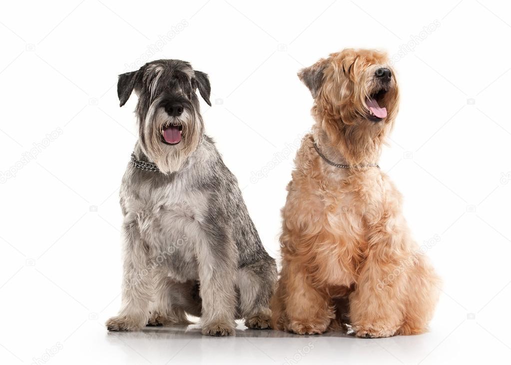 Dog. Miniature schnauzer  and irish soft coated wheaten terrier