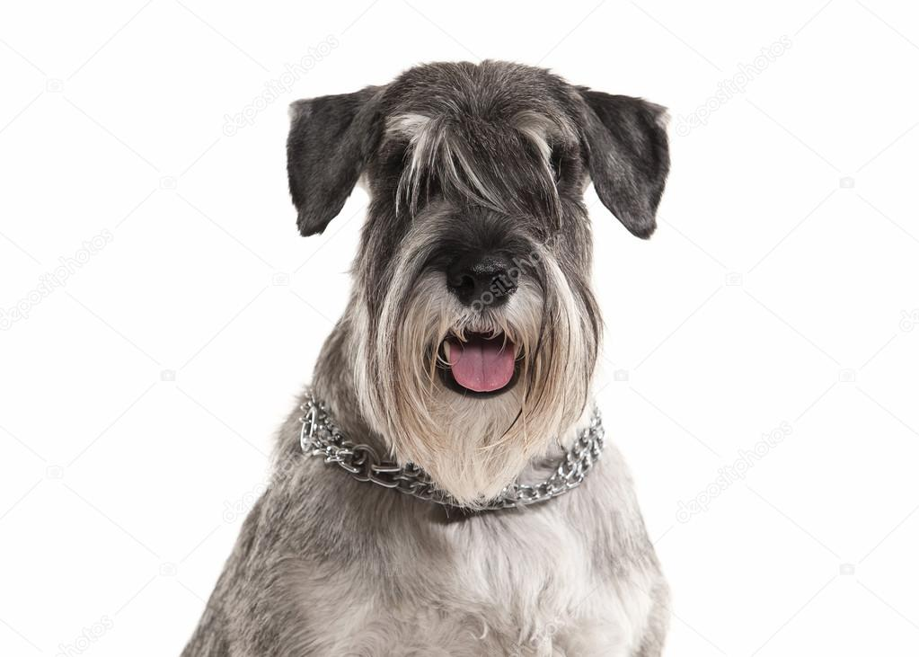Dog. Miniature schnauzer on white background