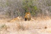 Lion páření pár odpočívá