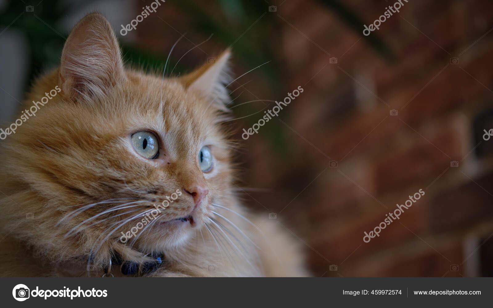 Seekor Kucing Merah Yang Cantik Dan Berbulu Latar Belakang Dinding ...