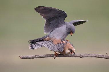 Red-footed falcon, Falco vespertinus
