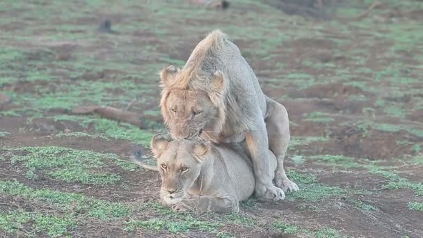 Africký lev, panthera leo
