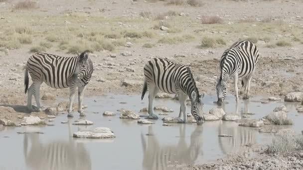 Plains zebra, Common zebra or Burchells zebra, Equus quagga