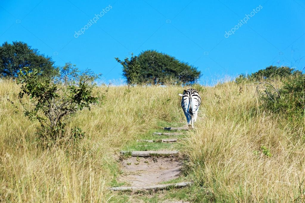 Zebra Walking up Hiking Trail in Nature Reserve