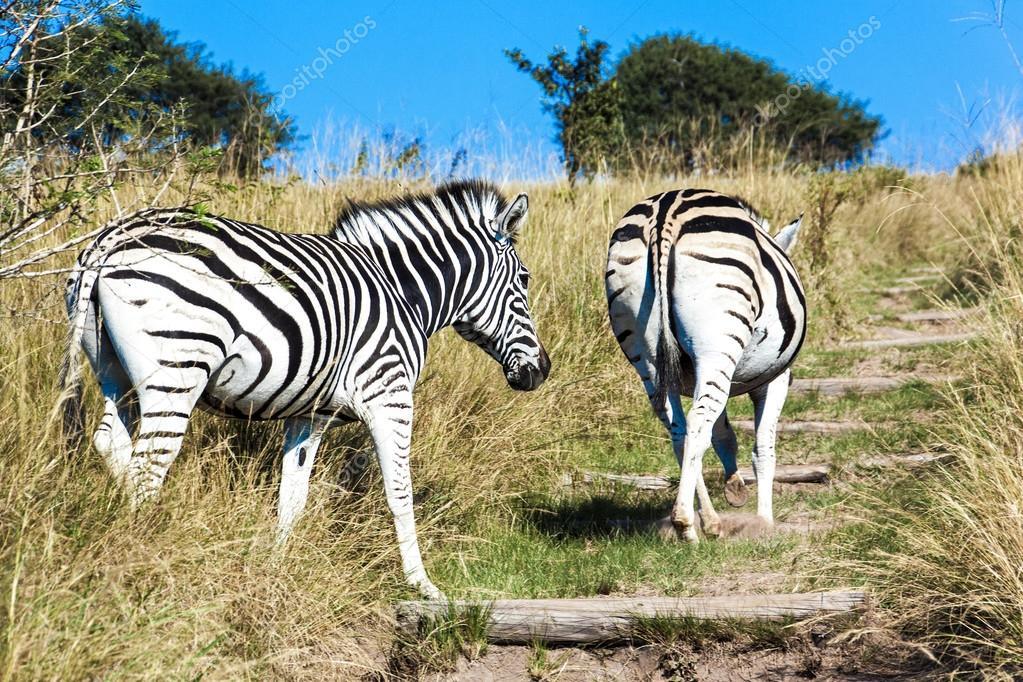 Pair of Zebras Walking up Hiking Trail