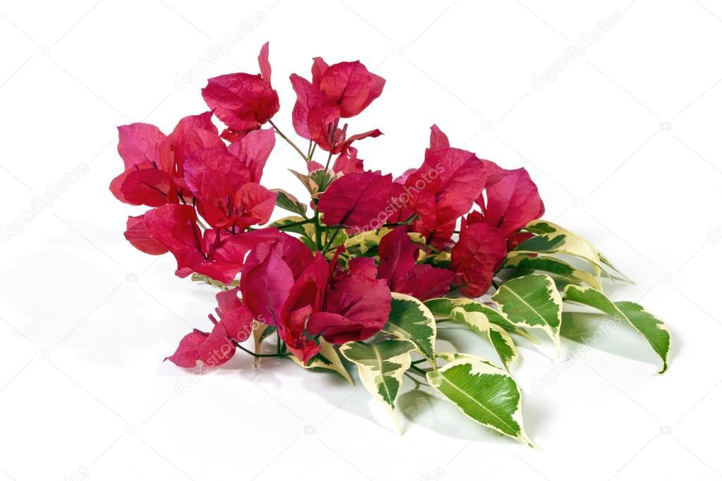 de fleurs de bougainvillier rose foncé à feuilles panachées