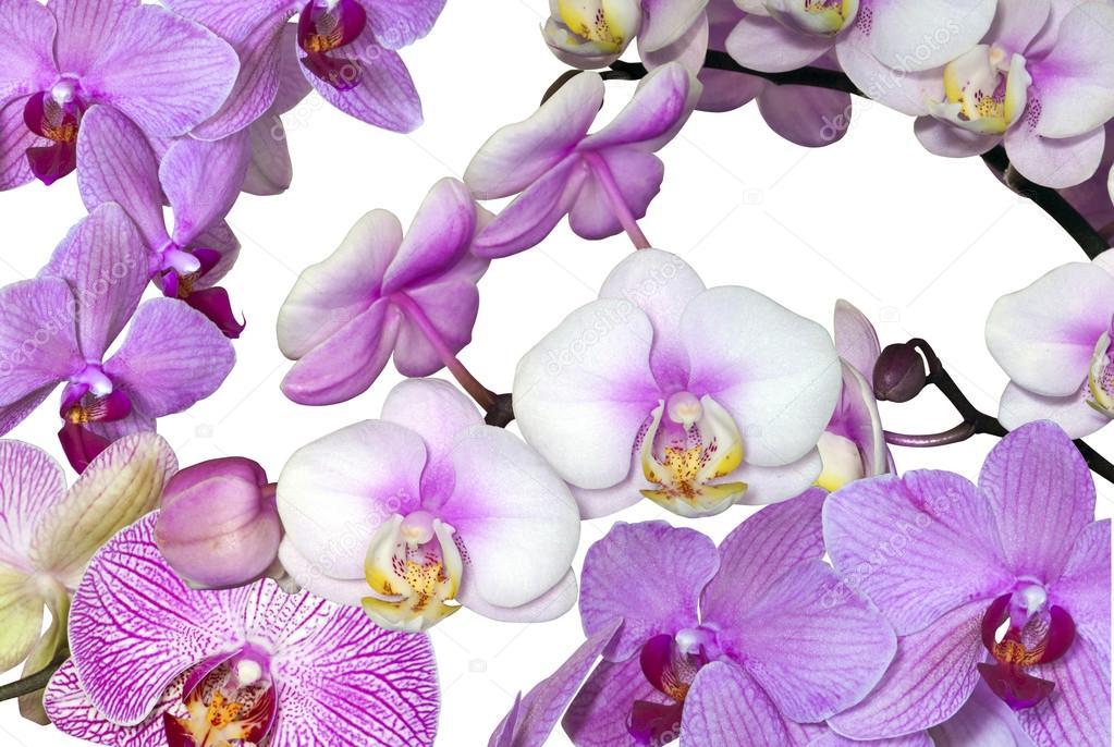 vari t de fleurs d 39 orchid e rose phalaenopsis blanc photographie lcswart 52507087. Black Bedroom Furniture Sets. Home Design Ideas