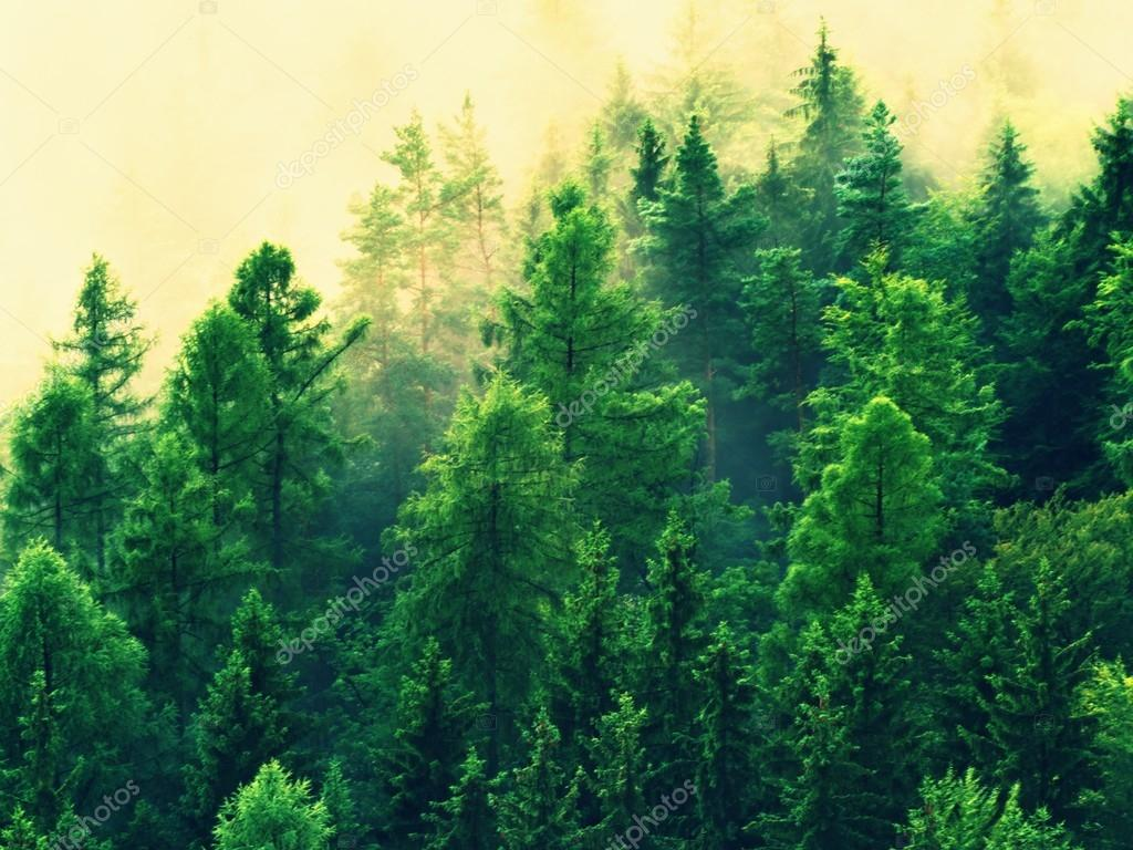 Stripped colorful mist. Summer forest after heavy rainy night. Treetops  increased from fog and