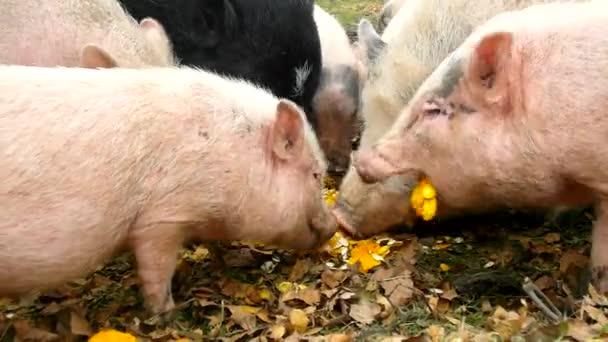 Mladé růžové prasátko a staré hnědé prasata jsou pasoucí se svěží zelenou trávu na louce