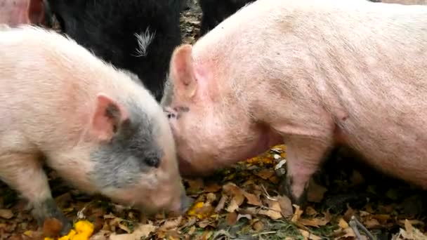 Young pink piglet and old brown pigs are grazing smashing pumpkins
