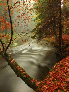 Autumn river in forest. Bended tree above water level, river bank covered with colorful leaves from maples, beeches or aspens tree.