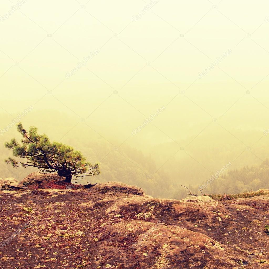Wild bonsai of pine on sandstone rocks. Blue mist in valley below