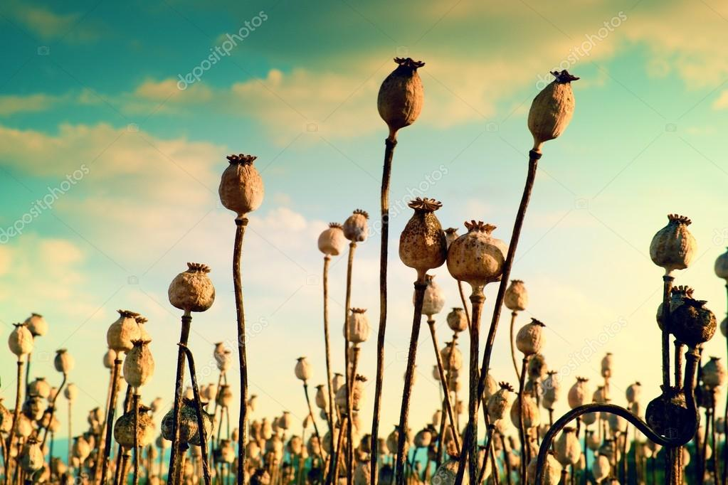 Long dry stalk of poppy seed. Evening field of poppy heads  with sun at horizon.