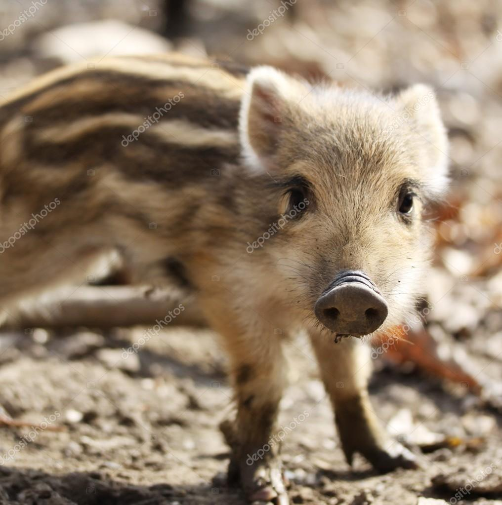 One cute little wild pig ling with stripes in nature
