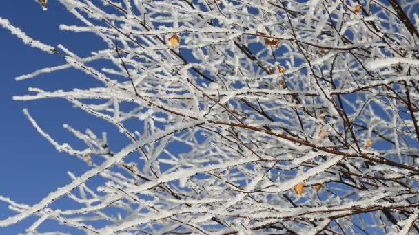 verschneite Birke Zweige schwankend