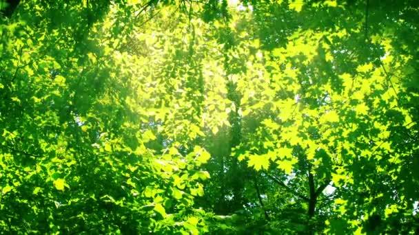 Slunce mezi stromy. HD 1080.