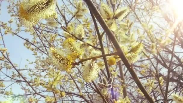 Nádherný strom ve slunečné jaro. Včely a pylu. HD 1080