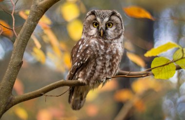 boreal owl in autumn leaves