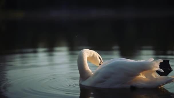 weißer Schwan auf dem Teich putzt Federn