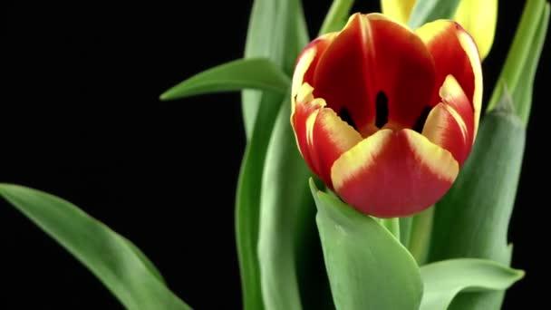 tulipány na černém pozadí
