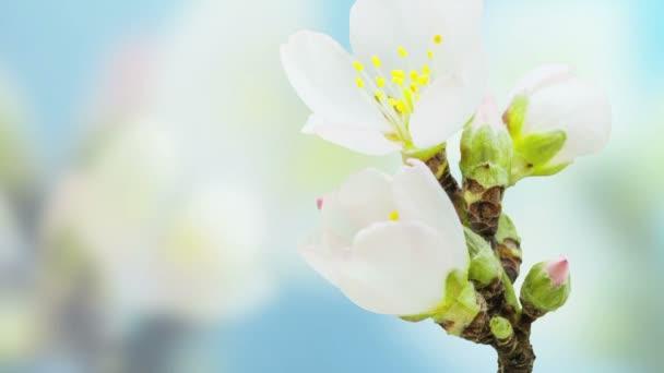 meruňkový květ kvetoucí časová prodleva