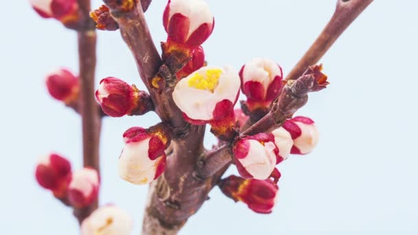 Meruňkový květ časová prodleva