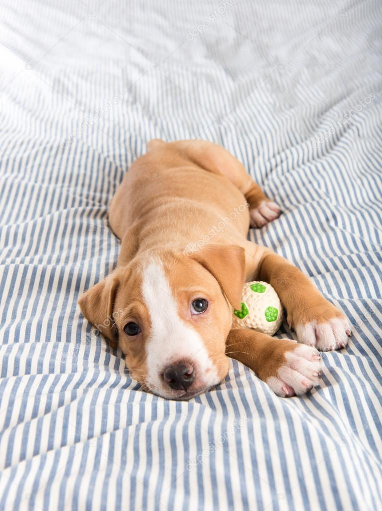 Puppy Laying on Bed with Ball Toy — Stock Photo