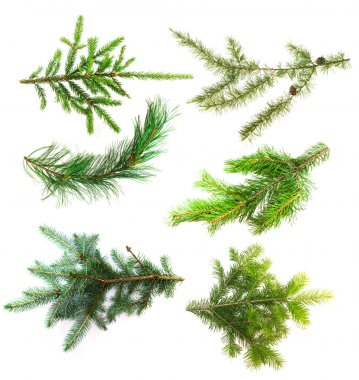 Set of branches of coniferous trees isolated on white background