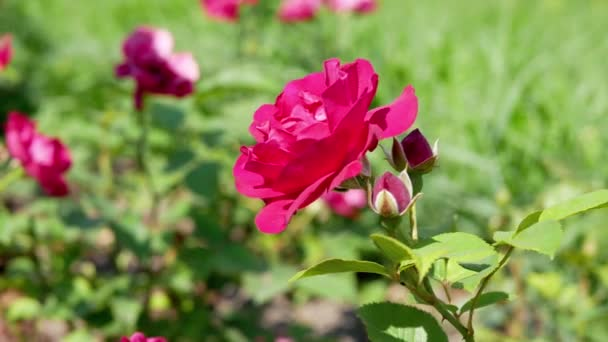 Rote Rosenblüte im Garten. Rote Rose aus nächster Nähe.