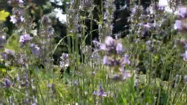 Modré květy lávy v přirozeném prostředí. Krásný letní výhled s levandulovými květy. Lavanda fialové květy krásné slunce kvete v zahradě