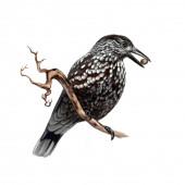 Skvrnitý louskáček (Nucifraga caryocatactes) realistická kresba ilustrace pro encyklopedii ptáků izolovaný obraz na bílém pozadí