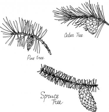 hand drawn branches of conifers