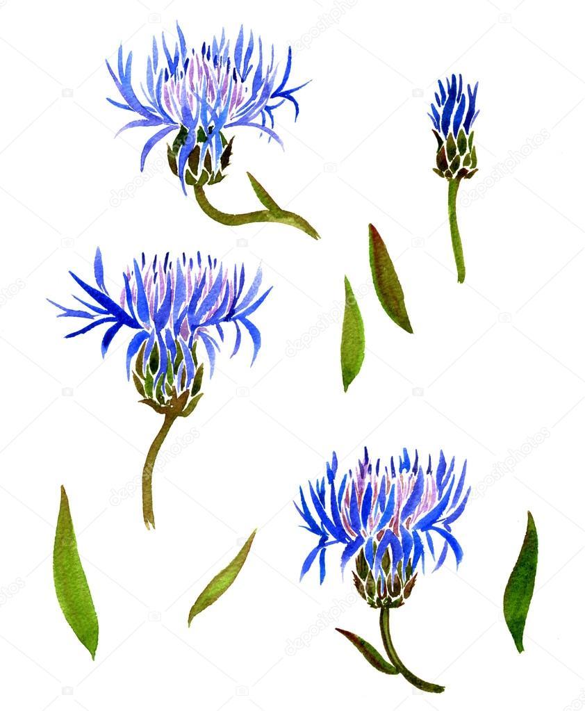 Set of watercolor drawing cornflowers