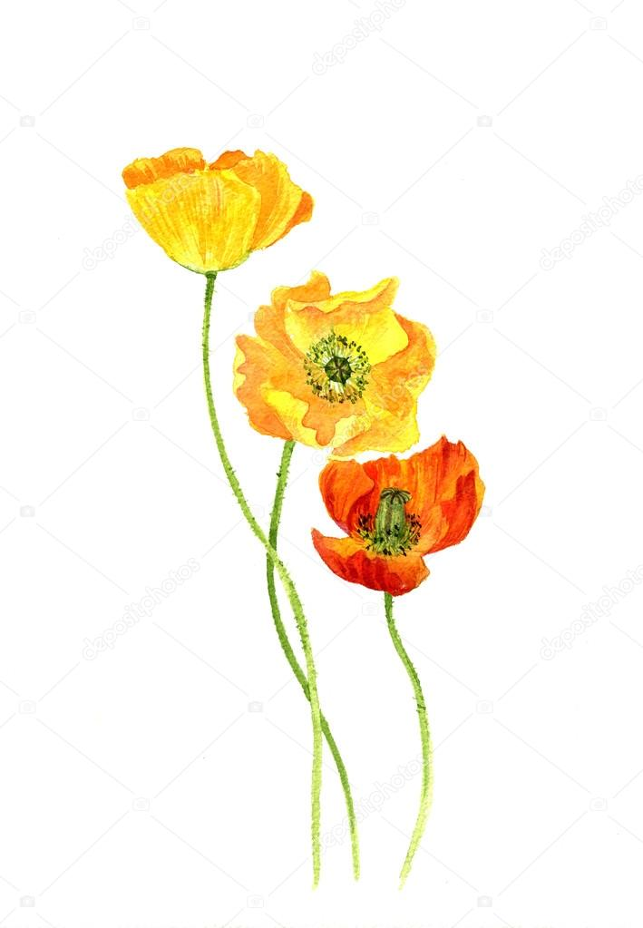 Watercolor Drawing Flowers Of Yellow Poppies Stock Photo