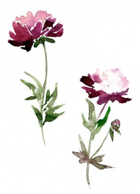peony flowers drawing by watercolor
